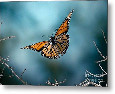 Monarch Butterfly In Flight Metal Print