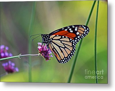 Monarch Butterfly In Garden Metal Print by Karen Adams