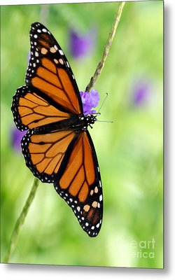 Monarch Butterfly In Spring Metal Print