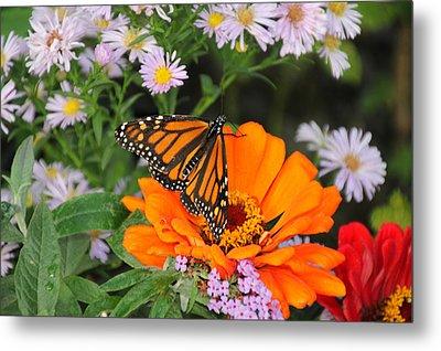 Monarch Butterfly Metal Print by Katie Wing Vigil