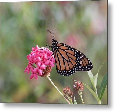 Monarch Butterfly Metal Print by Kim Hojnacki