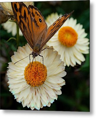 Monarch Butterfly On Paper Daisy Metal Print by Patrick OConnell