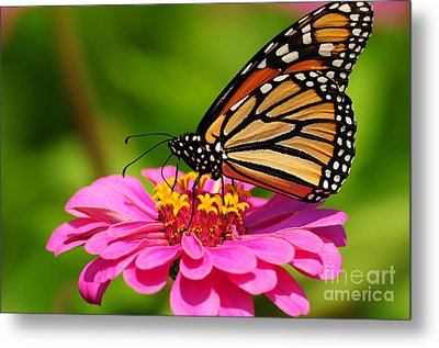 Monarch Butterfly On Zinnia Metal Print