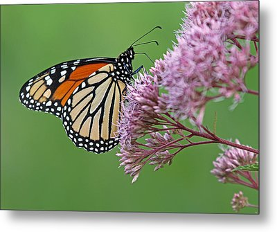 Monarch Butterfly Photography Metal Print by Juergen Roth