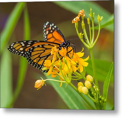 Metal Print featuring the photograph Monarch by Jane Luxton