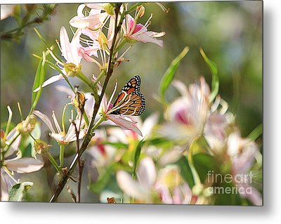 Monarch Metal Print by Kevin Ashley