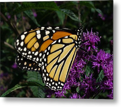 Metal Print featuring the photograph Monarch by Lingfai Leung