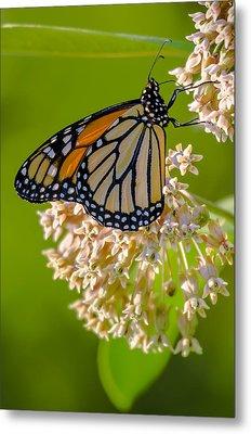 Monarch Nectaring Metal Print