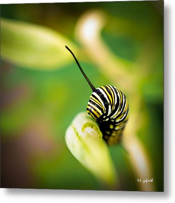 Monarch Offspring Squared Metal Print by TK Goforth