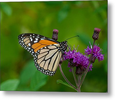 Monarch On Iron Weed Metal Print