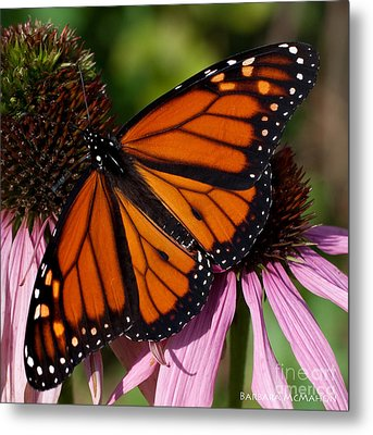 Metal Print featuring the photograph Monarch On Purple Coneflower by Barbara McMahon
