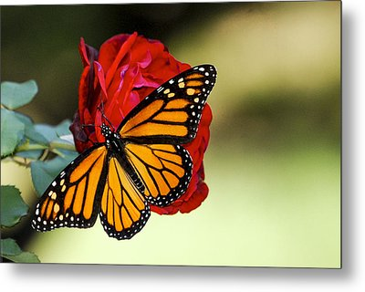 Metal Print featuring the photograph Monarch On Rose by Debbie Karnes