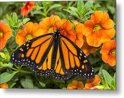 Monarch Resting Metal Print by Garry Gay