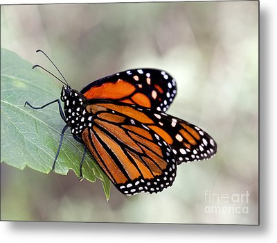 Monarch Resting On A Leaf Metal Print by Ruth Jolly