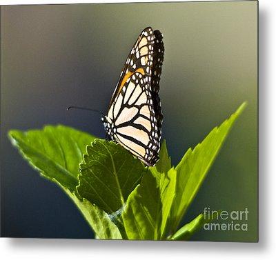 Monark Butterfly No. 2 Metal Print