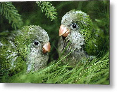 Monk Parakeet Chicks Metal Print