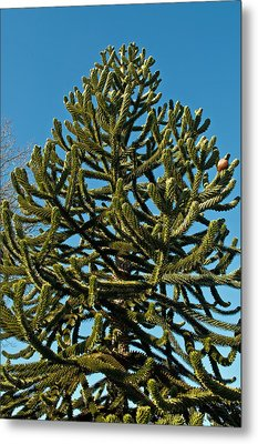 Monkey Puzzle Tree E Metal Print