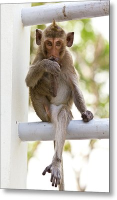 Monkeys Cute Sitting On A Steel Fence Metal Print