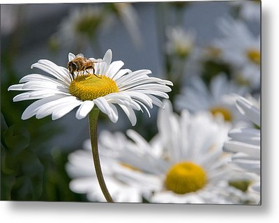 Montauk Daisy With Bee  Metal Print by Bob Mulligan