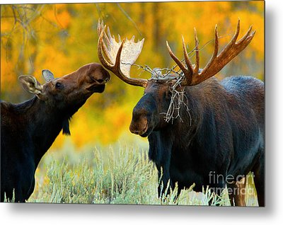 Metal Print featuring the photograph Moose Be Love by Aaron Whittemore