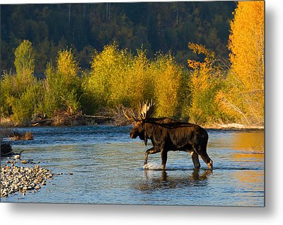 Metal Print featuring the photograph Moose Crossing by Aaron Whittemore