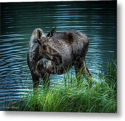 Moose In The Water Metal Print