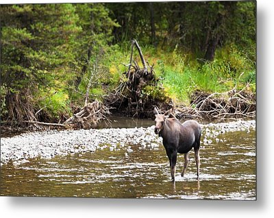 Moose In Yellowstone National Park   Metal Print