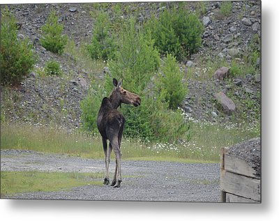 Metal Print featuring the photograph Moose by James Petersen