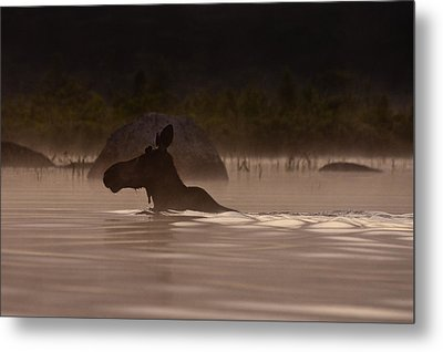 Moose Swim Metal Print by Brent L Ander