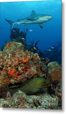 Moray Reef Metal Print by Carey Chen