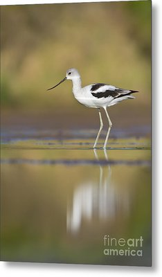 Metal Print featuring the photograph Morning Avocet by Bryan Keil