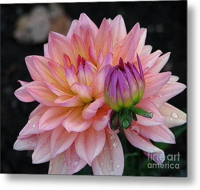 Morning Dew  Dahlia Metal Print
