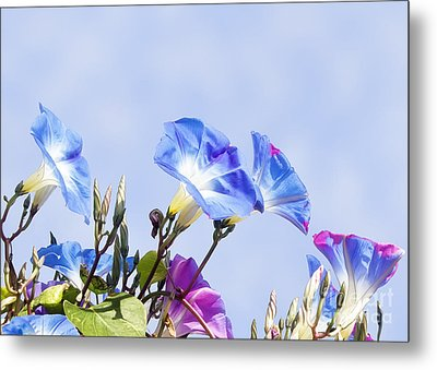 Morning Glory Flowers Metal Print