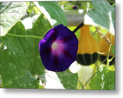 Metal Print featuring the photograph Morning Glory by John Mathews