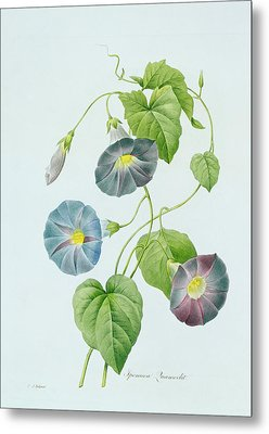 Morning Glory Metal Print by Pierre Joseph Redoute