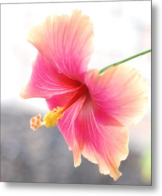 Morning Hibiscus In Gentle Light - Square Macro Metal Print by Connie Fox