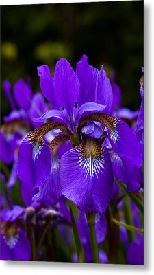 Morning Iris Metal Print by Haren Images- Kriss Haren