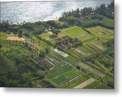 Morning Light Over Kauai Taro Fields Metal Print by Kai Hyde