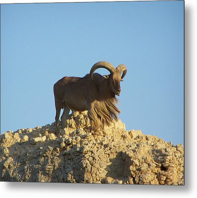 Moroccan Barbary Sheep Metal Print by Noreen HaCohen
