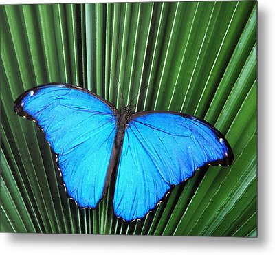 Morpho Butterfly On Fan Palm Metal Print by Robert Jensen