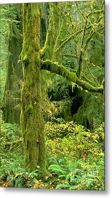 Metal Print featuring the photograph Moss Draped Big Leaf Maple California by Dave Welling