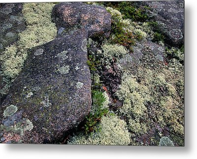 Moss On Rock-lubec-maine Metal Print by Harold E McCray