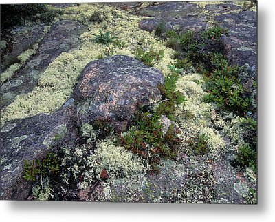 Moss On Rock-lubec-maine II Metal Print by Harold E McCray