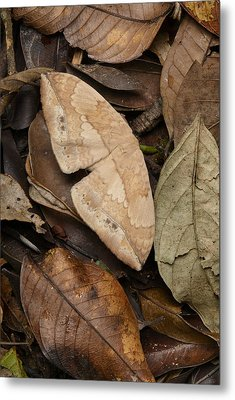 Moth Camouflaged Against Leaf Litter Metal Print