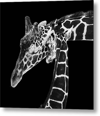 Mother And Baby Giraffe Metal Print by Adam Romanowicz