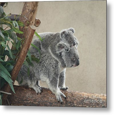 Mother And Child Koalas Metal Print by John Telfer