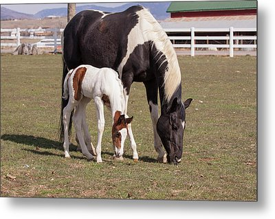 Mother And Filly Grazing Pasture White Metal Print by Piperanne Worcester