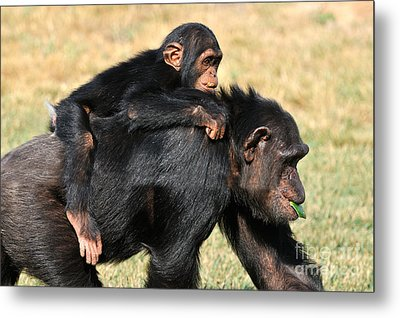 Mother Chimpanzee With Baby On Her Back Metal Print by George Atsametakis