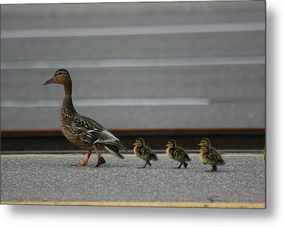 Mother Duck And Babies Metal Print by Paula Brown