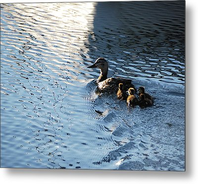 Mother Duck With Babies Canandaigua Lake 2008 Metal Print by Joseph Duba